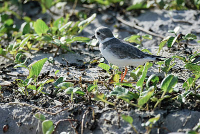 Photograph - Piping Plover In The Dunes by Debra Martz
