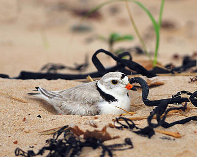 Photograph - Piping Plover by Tony Beck