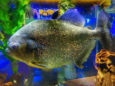 Photograph - Piranha Fish by Anne Sands