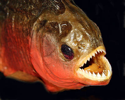 Piranha Photograph - Piranha by Larry Linton
