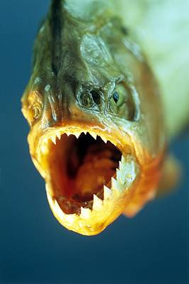 Piranha Photograph - Piranha's Mouth by David Aubrey