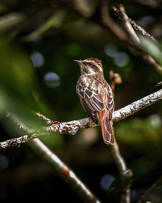 Photograph - Piratic Flycatcher La Macarena Colombia by Adam Rainoff