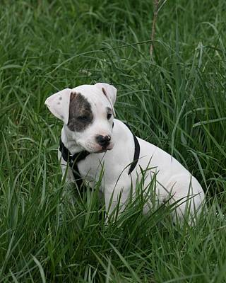 Photograph - Pit Bull Puppy 5 White With Patch by David Dunham
