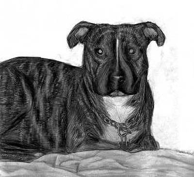 Pitbull Drawing - Pitbull Puppy Named Spencer by Katie Alfonsi