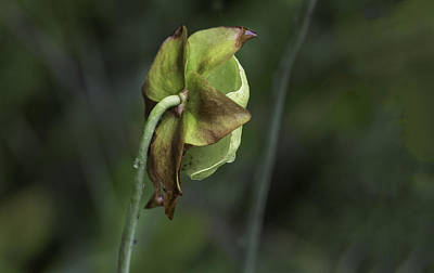 Photograph - Pitcher Plant 07 by Jim Dollar