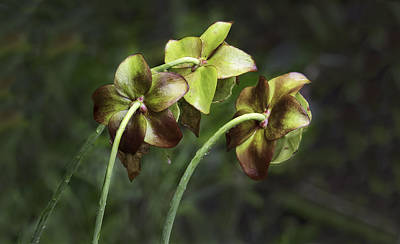 Photograph - Pitcher Plant 09 by Jim Dollar