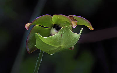 Photograph - Pitcher Plant 10 by Jim Dollar