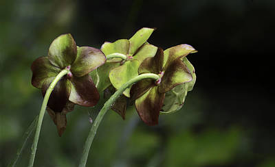 Photograph - Pitcher Plant 11 by Jim Dollar