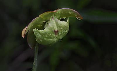 Photograph - Pitcher Plant 12 by Jim Dollar