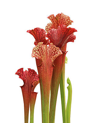 Photograph - Pitcher Plant - Carnivorous Sarracenia by Gill Billington