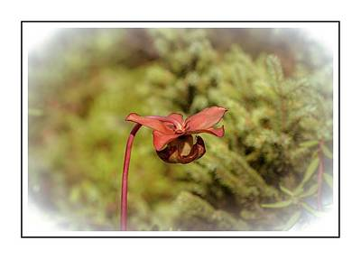 Photograph - Pitcher Plant Flower At Peacham Bog by Sherman Perry