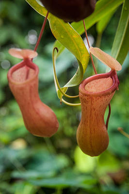 Photograph - Pitcher Plant by Harry Spitz