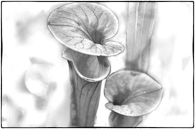 Photograph - Pitcher Plant by John Hansen