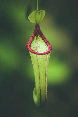 Photograph - Pitcher Plant by Lauri Novak