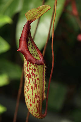 Photograph - Pitcher Plant by Paul Cowan
