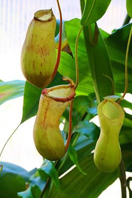 Photograph - Pitcher Plants 2 by Kathryn Meyer