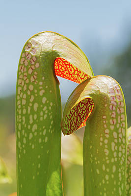Photograph - Pitcherplant Hoods by Paul Rebmann