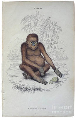 1833 Painting - Pithecus Satyrus by MotionAge Designs
