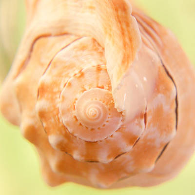 Photograph - Pitted Murex Seashell by Heidi Hermes