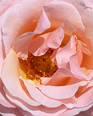 Photograph - Pittock Mansion Rose by Joseph Skompski