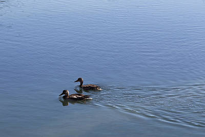 Photograph - Placid Ducks by Rod Shelley