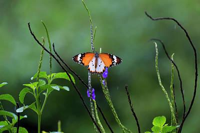 Plain Tiger Butterfly Art Print by David Gn