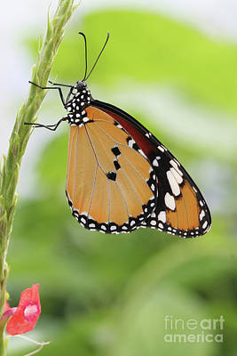 Lepidoptera Photograph - Plain Tiger Butterfly by Judy Whitton