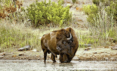 Photograph - Plains Buffalo At Creekside by Robert Frederick