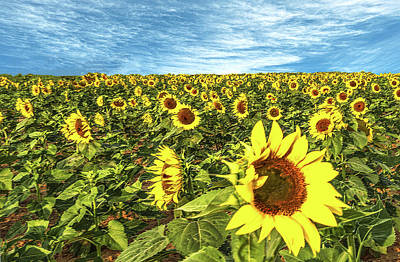 Photograph - Plains Sunflowers by Scott Cordell