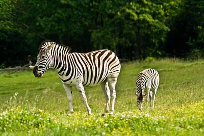 Plains Zebra 1 Art Print by Douglas Barnett