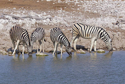 Photograph - Plains Zebra 2 by Ernie Echols