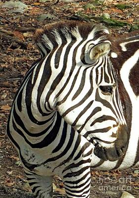 Staff Picks Judy Bernier Rights Managed Images - Plains Zebra Royalty-Free Image by Cindy Treger