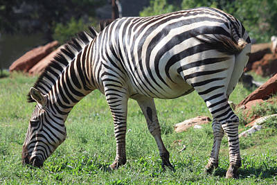 Photograph - Plains Zebra Grazing by Sheila Brown