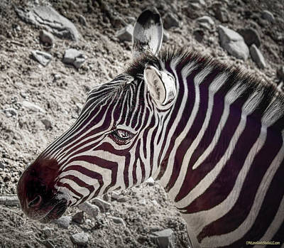 Animals Royalty-Free and Rights-Managed Images - Plains Zebra by LeeAnn McLaneGoetz McLaneGoetzStudioLLCcom