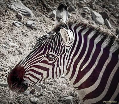 Photograph - Plains Zebra by LeeAnn McLaneGoetz McLaneGoetzStudioLLCcom