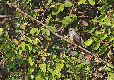 Cuckoo Photograph - Plaintive Cuckoo by Neil Bowman/FLPA