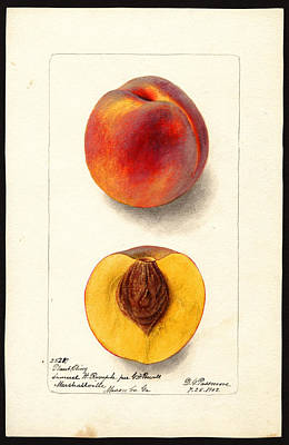 Drawing - Plant Cling Variety Of Peaches by Deborah Griscom Passmore