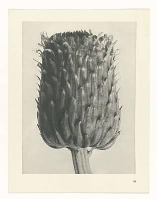 Rose Painting - Plant Studies, 1928, Nature Series, By Karl Blossfeldt 1865 - 1932 51 by Karl Blossfeldt