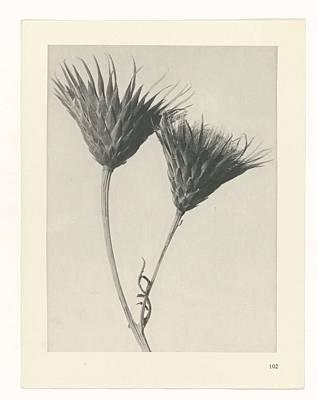 Rose Painting - Plant Studies, 1928, Nature Series, By Karl Blossfeldt 1865 - 1932 75 by Karl Blossfeldt