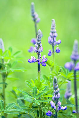 Photograph - Lupine With Web by Paul Riedinger