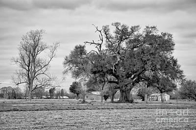 Photograph - Plantation Live Oak -river Road La by Kathleen K Parker