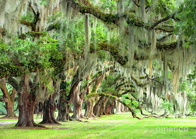 Photograph - Plantation Oaks IIi by Sharon Foster