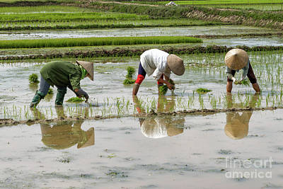 Photograph - Planting Rice by Peter Dang