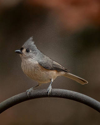 Photograph - Plastic Wrapped Titmouse by Robert L Jackson