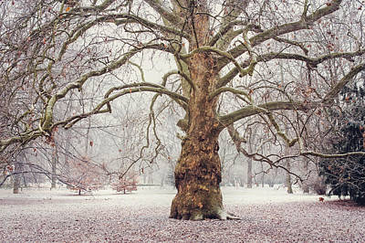 Photograph - Platan Tree In Early Winter by Jenny Rainbow