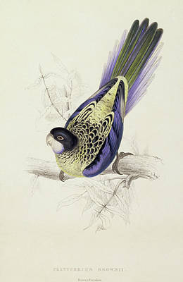 Parakeet Painting - Platycercus Brownii, Or Browns Parakeet by Edward Lear