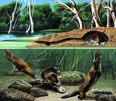 Education Painting - Platypus  by David Nockels