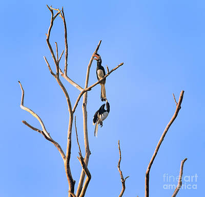 Photograph - Play Time Hornbills by Venura Herath