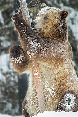 Photograph - Playful Bear by Sonya Lang