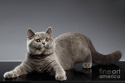Playful British Cat On Gray Background Print by Sergey Taran